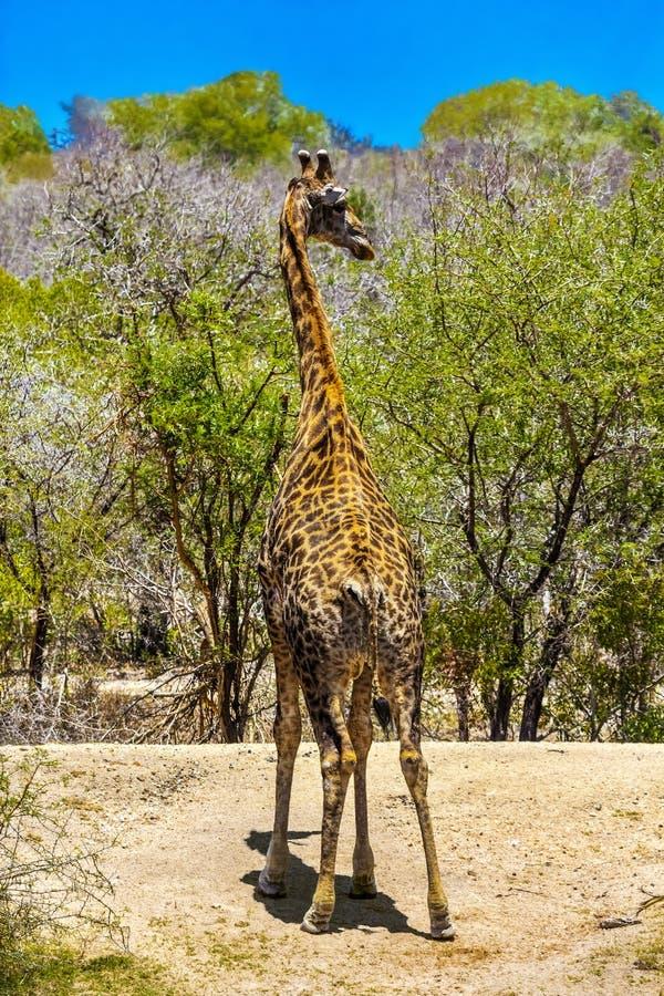 Giraffe, parco nazionale di Kruger immagine stock libera da diritti