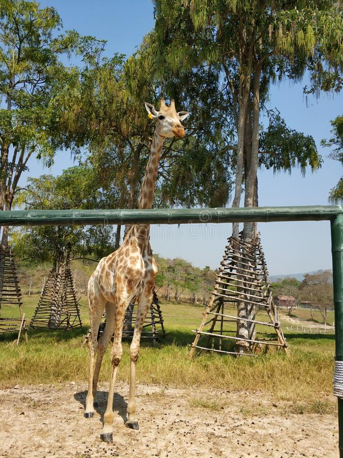 The giraffe at the park. The giraffe was taken photo at the Singha Park in Thailand royalty free stock photo