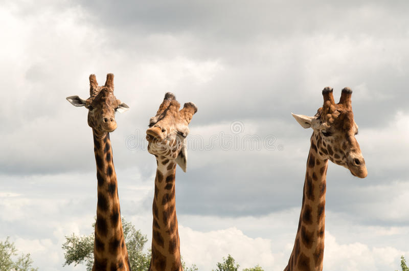 Download Giraffe stock photo. Image of animal, mammal, bizarre - 42548550