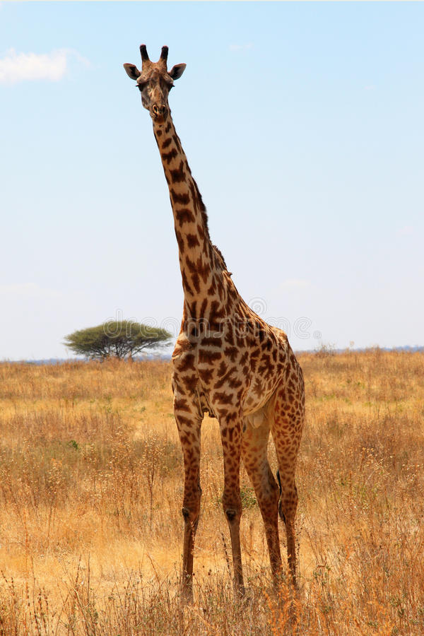 Giraffe in plain savanna royalty free stock images