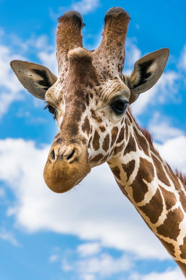 Free Giraffe Portrait Royalty Free Stock Image - 103024246