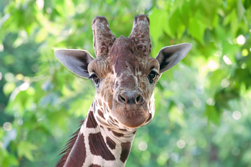 Giraffe Portrait Royalty Free Stock Images