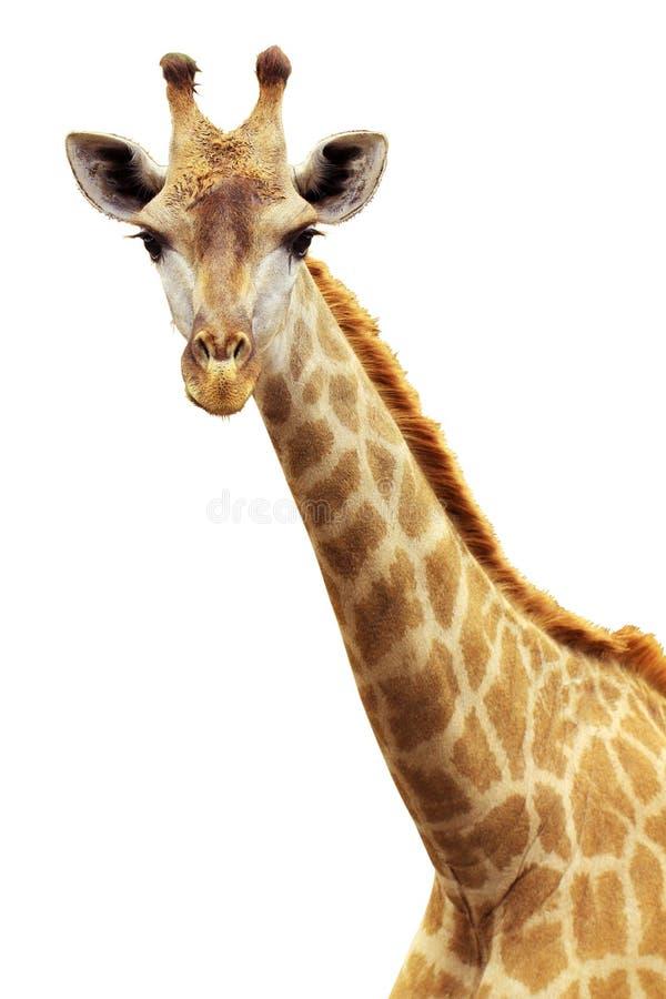 Free Giraffe Portrait Stock Photos - 21458283