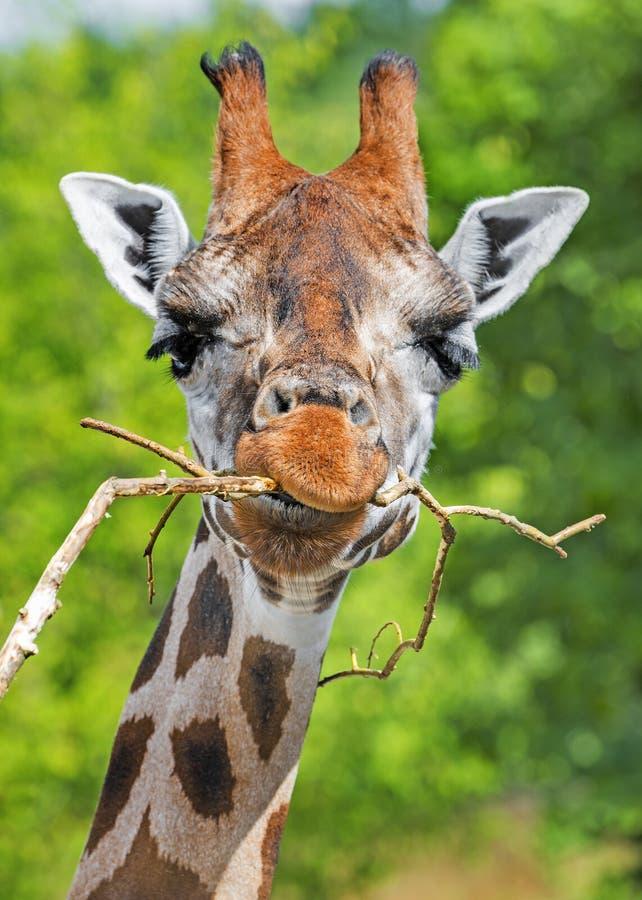 Free Giraffe Portrait Royalty Free Stock Photo - 57215315