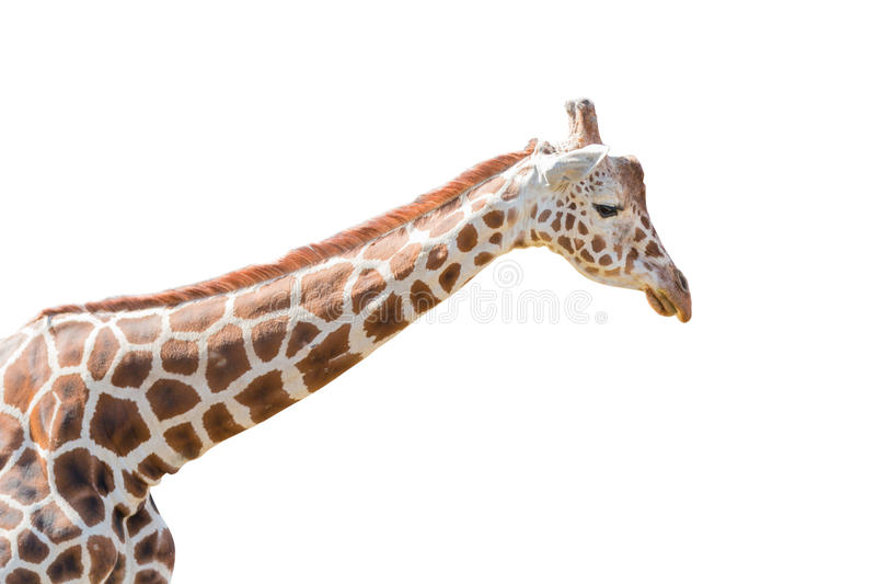 Giraffe portrait isolated on white background stock photography