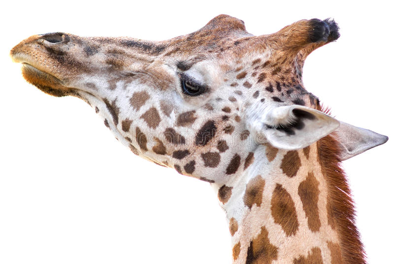 Giraffe portrait on white background. Giraffe tallest living terrestrial animals on white background stock images