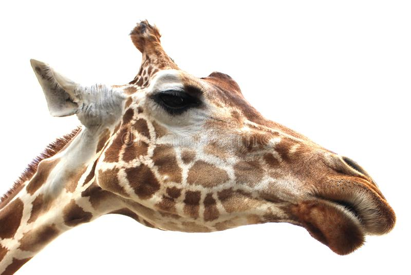 Giraffe portrait on white background stock photography