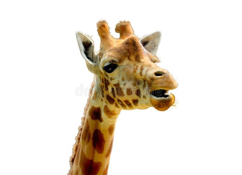 Giraffe principale d'og image libre de droits