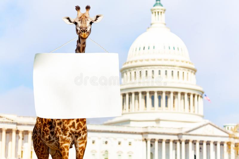 Giraffe protester with blank empty sign on neck. Giraffe protest in front of the USA capitol in Washington holding blank empty sign with copy-space vector illustration