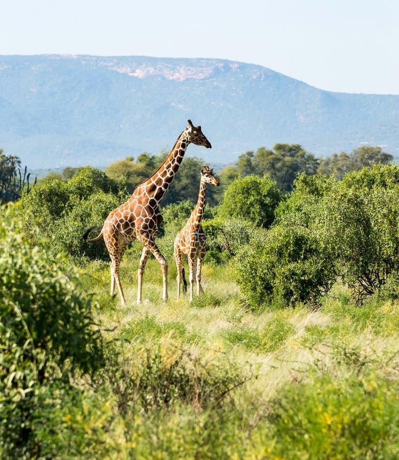 Giraffe przekraczający szlak w Samburu zdjęcie stock