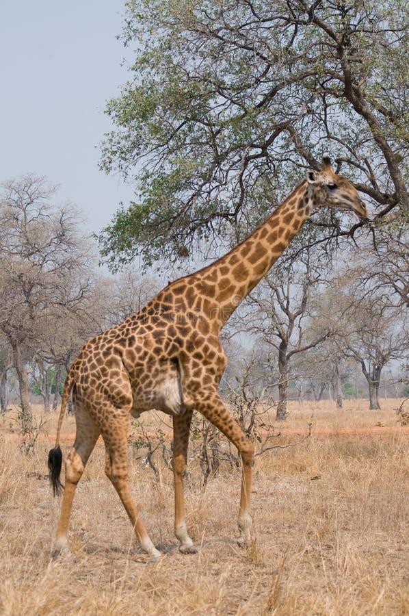 Giraffe que anda no arbusto fotos de stock