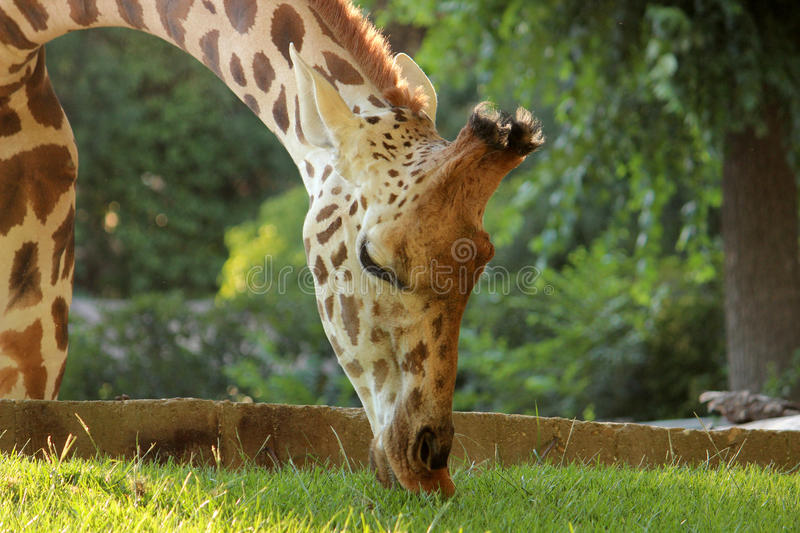 Giraffe que come a grama fotos de stock royalty free