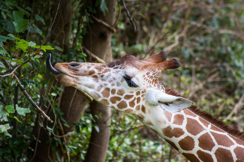 Giraffe. A Giraffe reaching out to get a leaf to eat royalty free stock photo