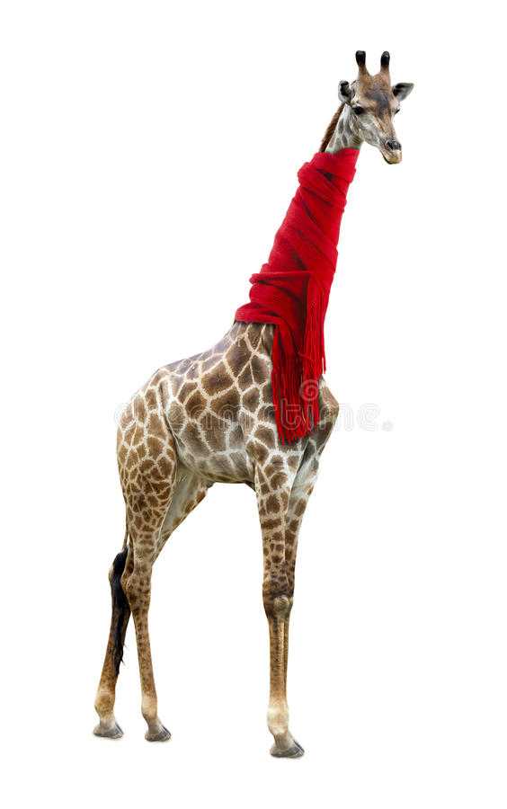 Giraffe in a red scarf. Isolated on white background royalty free stock images