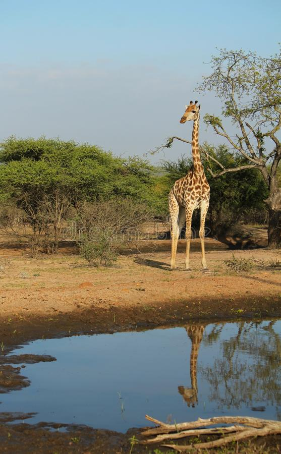 Giraffe reflecting. royalty free stock image