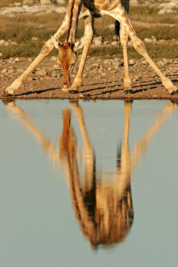 Giraffe reflection, Etosha National Park, Namibia. Reflection of a giraffe (Giraffa camelopardalis) in water, Etosha National Park, Namibia, southern Africa stock photos