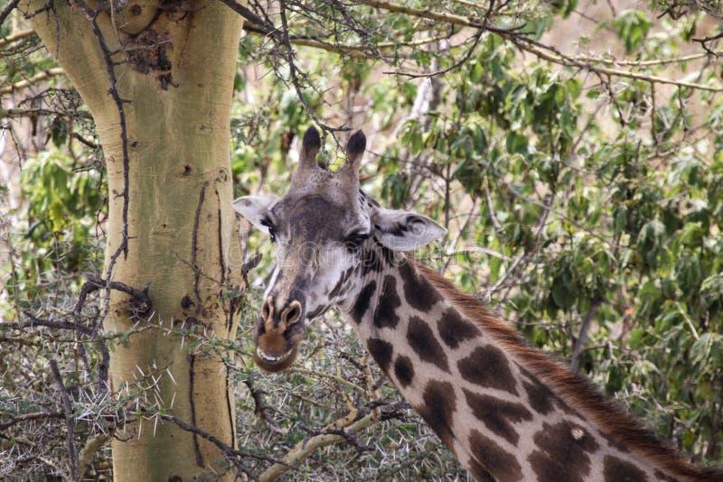 Giraffe regardant en arri?re photographie stock