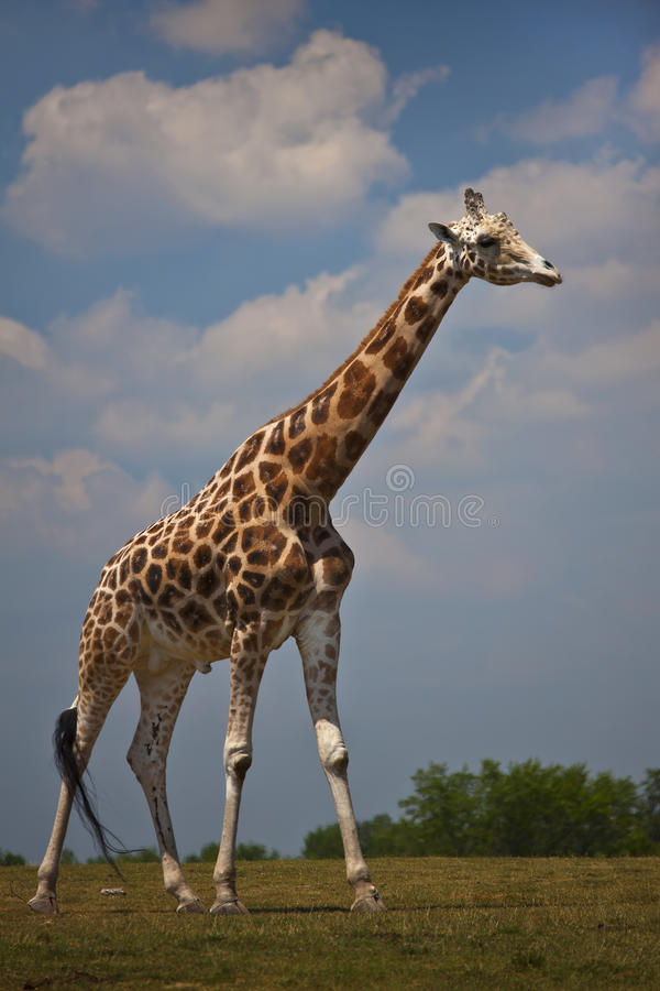 Giraffe Roaming. A Giraffe, tallest land mammal, seen roaming on a plain stock image