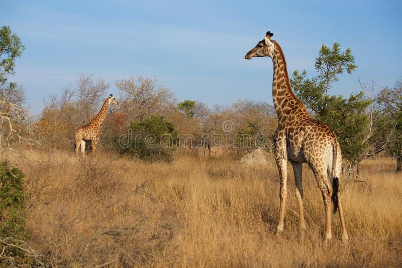 Giraffe Family in Kruger National Park. Giraffe roams the plains of Kruger National Park late in an afternoon stock photography