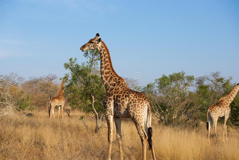 Giraffe Family in Kruger National Park. Giraffe roams the plains of Kruger National Park late in an afternoon royalty free stock images