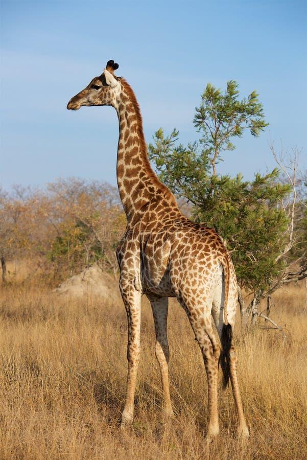 Giraffe Pose in Kruger National Park. Giraffe roams the plains of Kruger National Park late in an afternoon stock photos