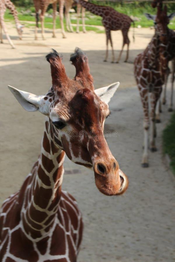 Giraffe in the Rotterdam Zoo. Giraffe in the Blijdorp Rotterdam Zoo stock images