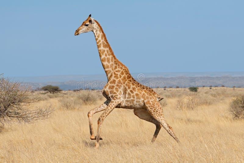 Giraffe running on African plains. Giraffe Giraffa camelopardalis running on the African plains, South Africa royalty free stock photography
