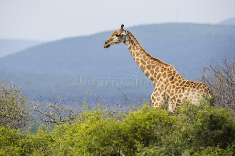 Giraffe in Südafrika lizenzfreie stockfotos