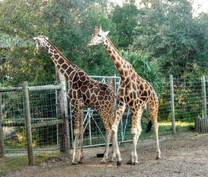 Giraffe& x27 ; s photo stock