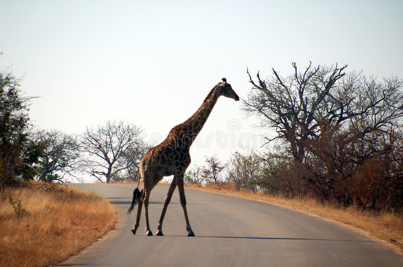Giraffe's crossing royalty free stock photos