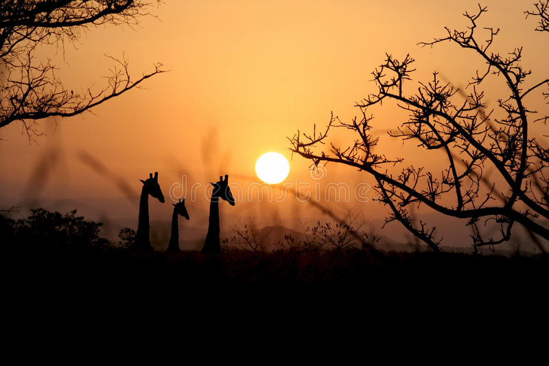 Download Giraffe's at Dusk stock image. Image of sunrise, park - 8869595