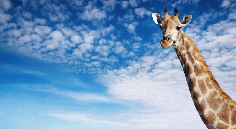Giraffe's neck stock photography