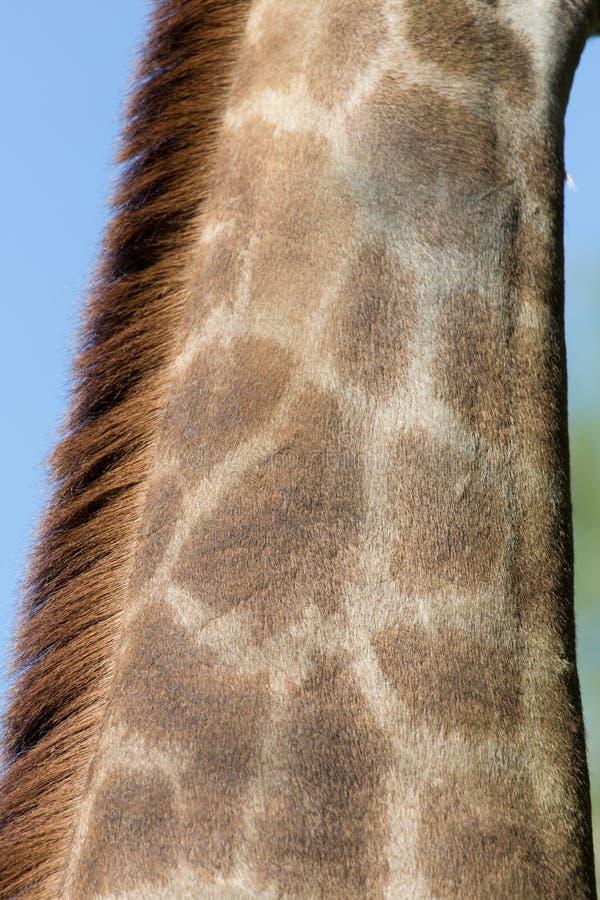 The giraffe`s neck royalty free stock photo