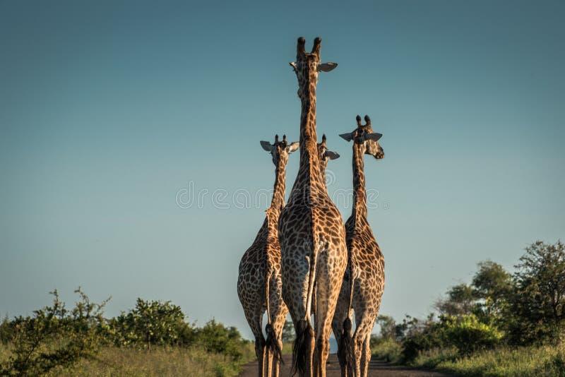 Giraffe& x27; s som går ner vägen royaltyfri foto
