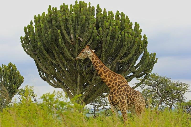 Giraffe in safari park in South Africa. Giraffe near the tree in safari park in South Africa stock photo