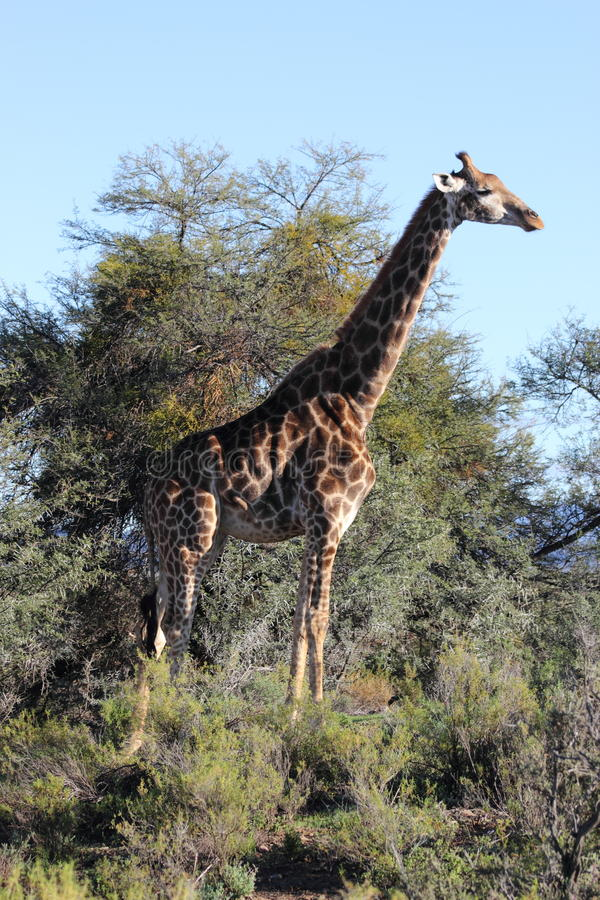 Download Giraffe In The Sanbona Wildlife Reserve Stock Photo - Image of sanbona, africa: 19879234