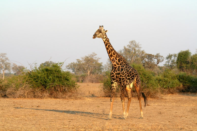 Giraffe sauvage africaine photographie stock