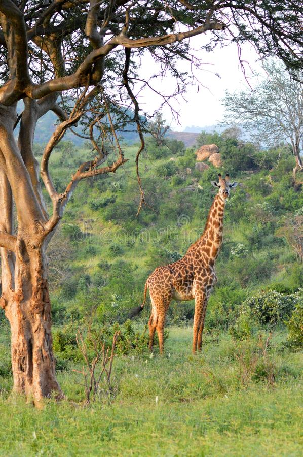 Download Giraffe in the savanna stock photo. Image of park, isolated - 83703734