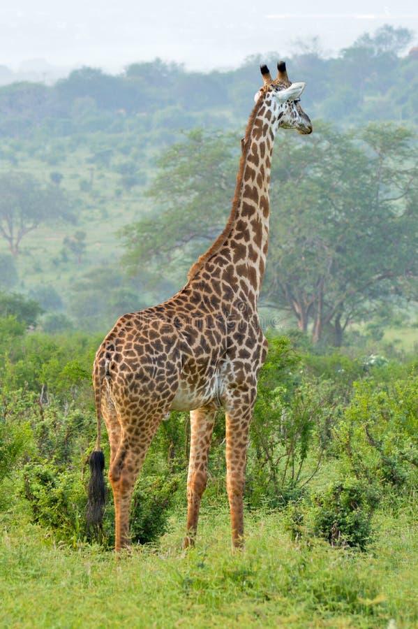 Download Giraffe In The Savanna Stock Photo - Image: 83704388