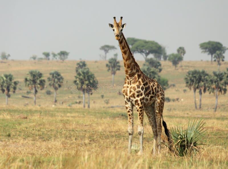 Giraffe on the Savanna. A Reticulated Giraffe on the African savanna royalty free stock images