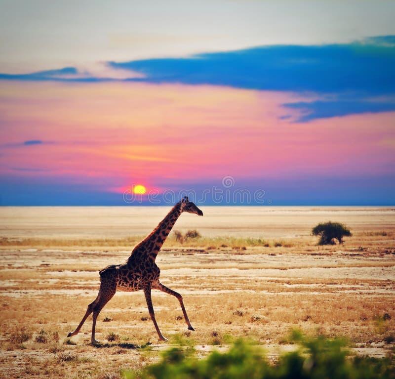 Giraffe on savanna. Safari in Amboseli, Kenya, Africa. Giraffe running on savanna at sunset. Safari in Amboseli, Kenya, Africa royalty free stock photography