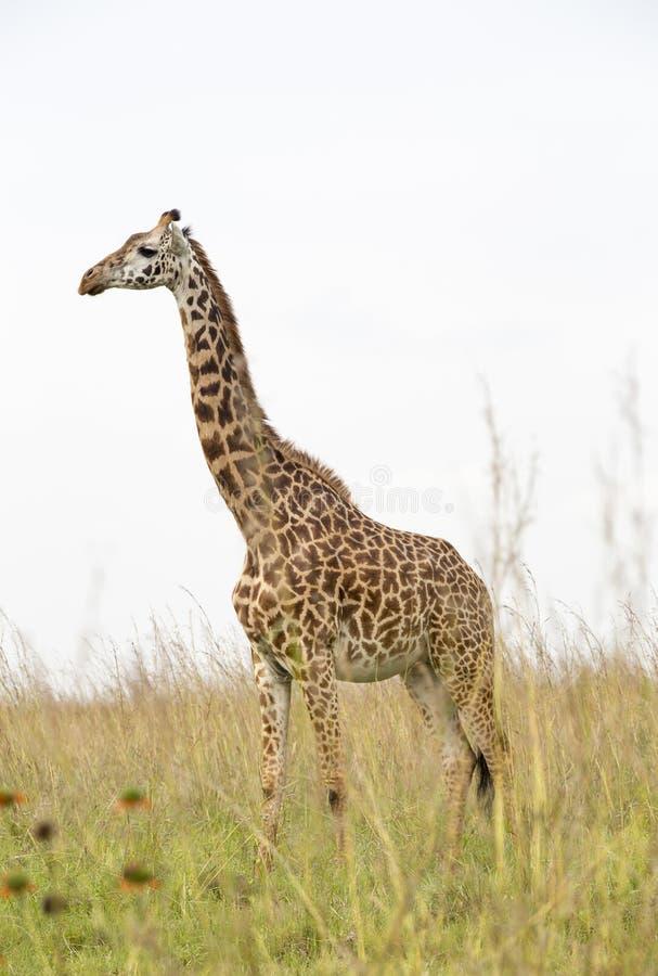 Download Giraffe in the savanna stock photo. Image of park, mammal - 36991088