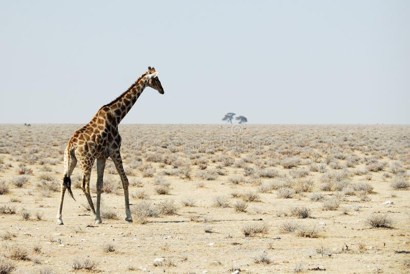 Giraffe in the savannah, Namibia stock image
