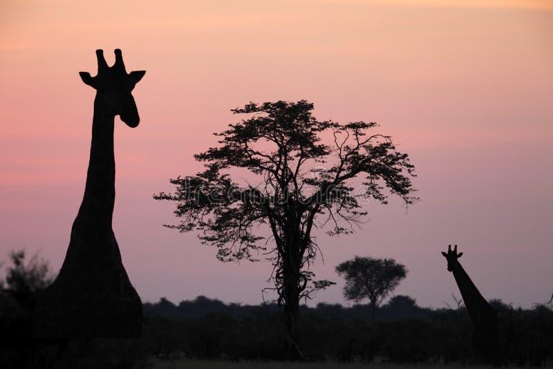 Giraffe - Savuti - Botswana stock images