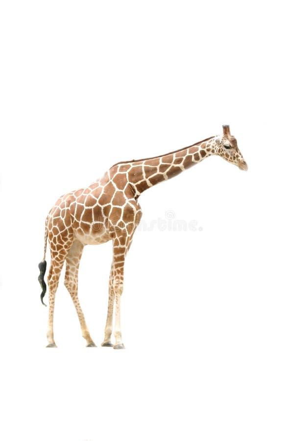 Giraffe-Seitenansicht stockbild