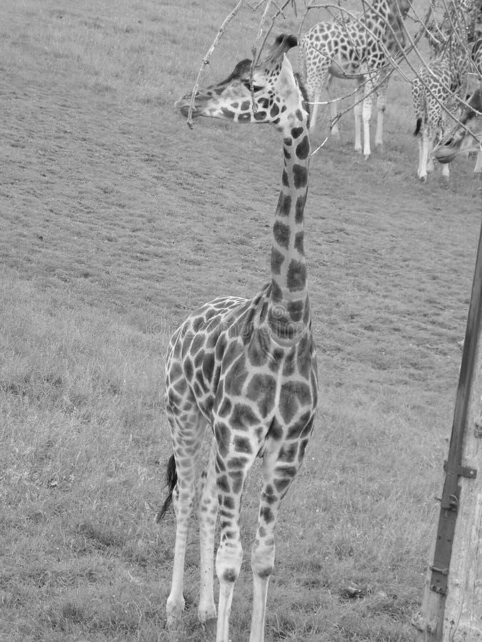 Giraffe. Shots on safari in monochrome royalty free stock photos