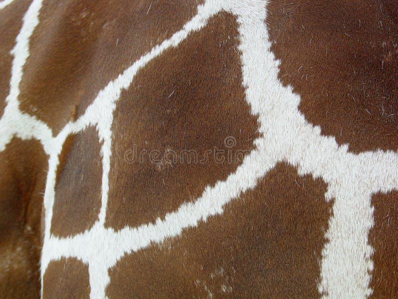 Giraffe skin. Closeup of giraffe skin royalty free stock image