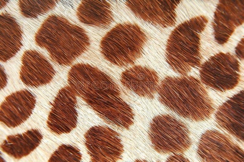 Giraffe skin. Close-up royalty free stock photos