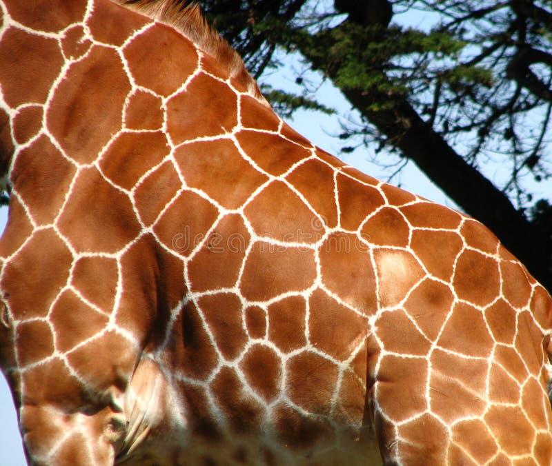 Giraffe Skin Free Public Domain Cc0 Image
