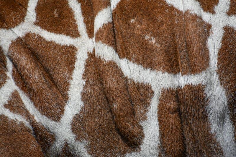 Giraffe Skin - Close Up stock photography